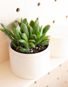 Coffret Plante : Crassula Horn Tree