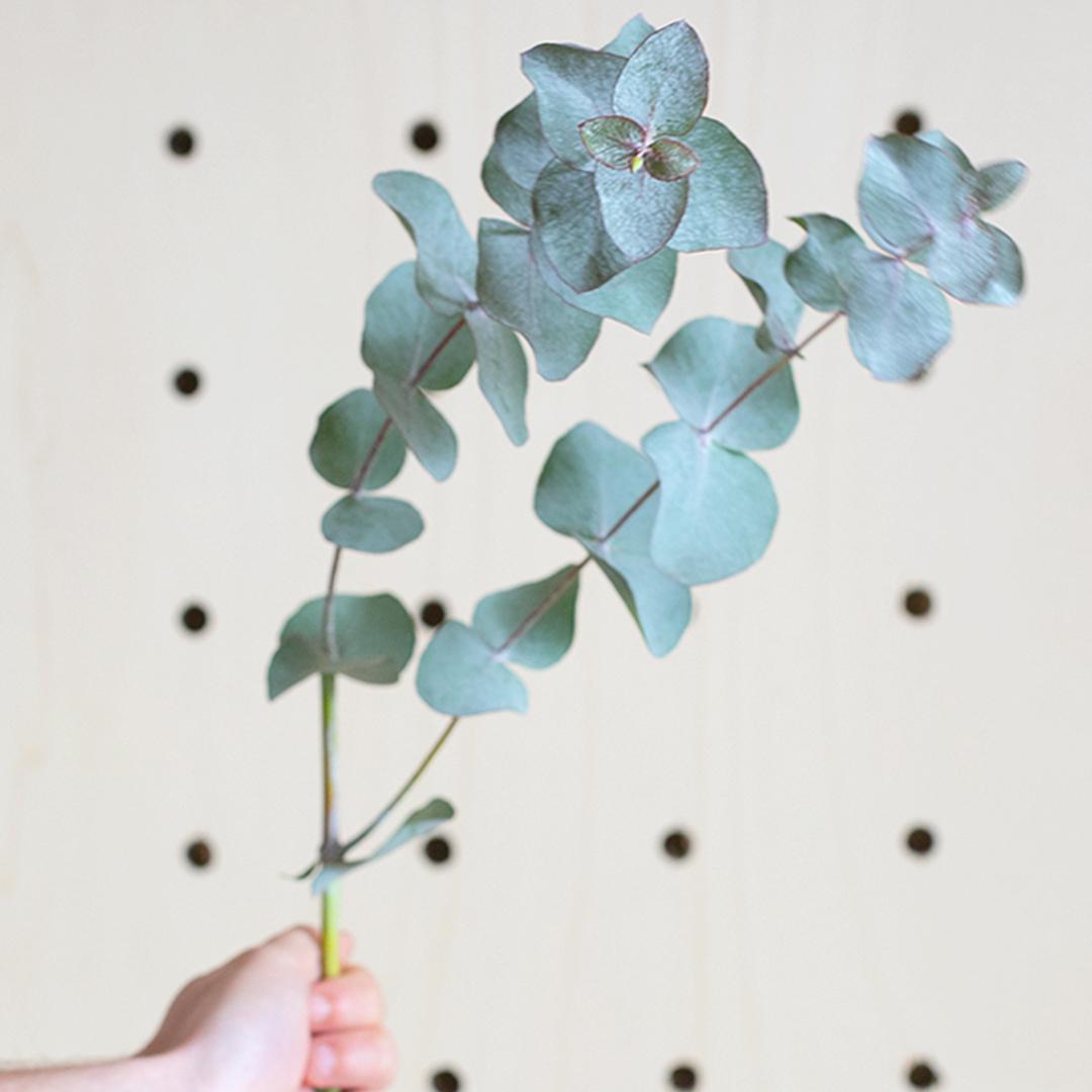 Faire sécher l'Eucalyptus