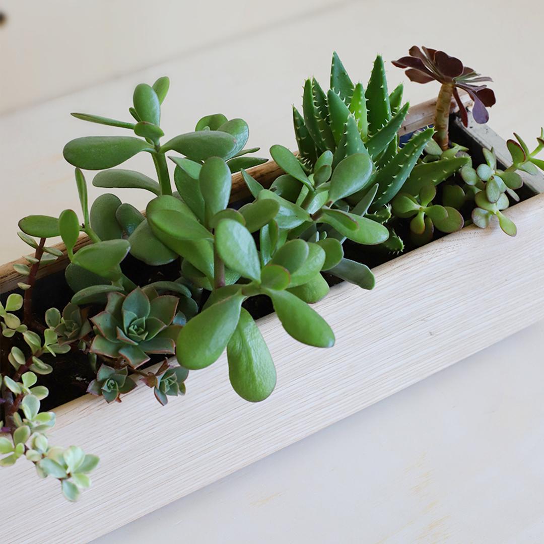 Comment installer et planter les succulentes dans sa jardinière d'intérieur?