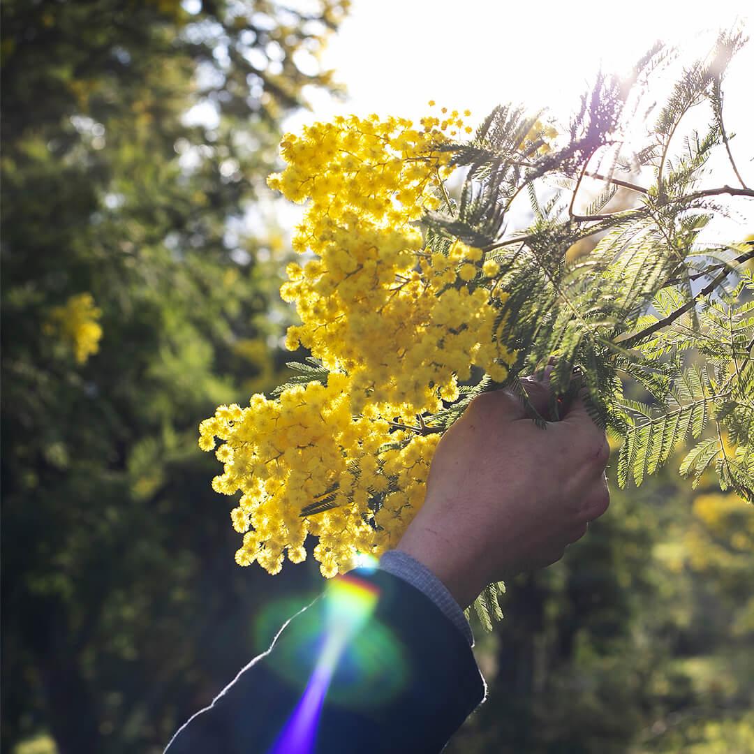 Belle branche de Mimosa