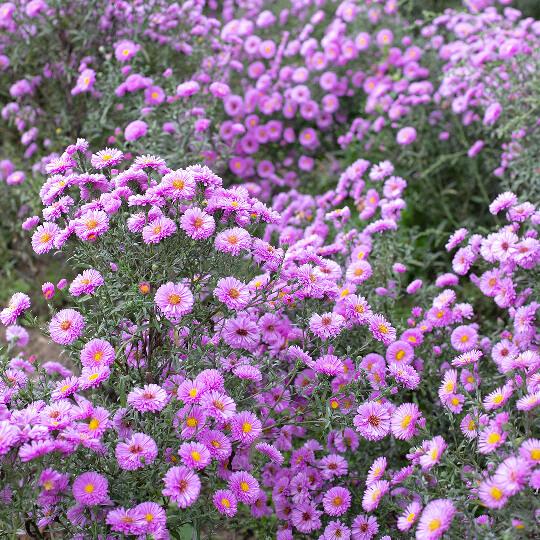 Des fleurs cultivées en plein champ
