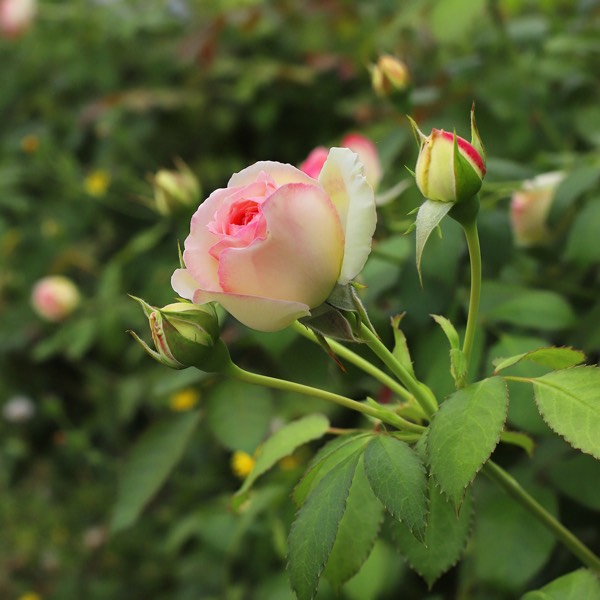 Roses de Xavier